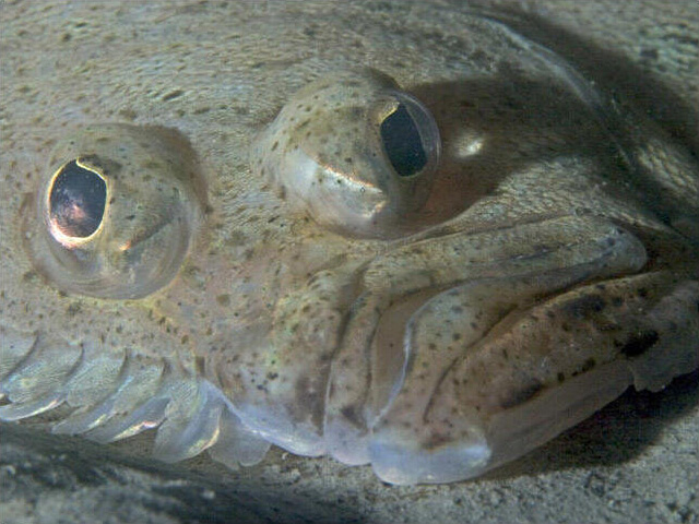 Les poissons plats ont un il qui migre le savais tu for Poisson yeux miroir