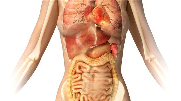 141005_fg71d_organes-corps-humain_sn635