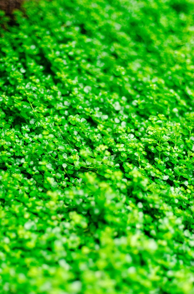 trefles trefle a 5 feuilles