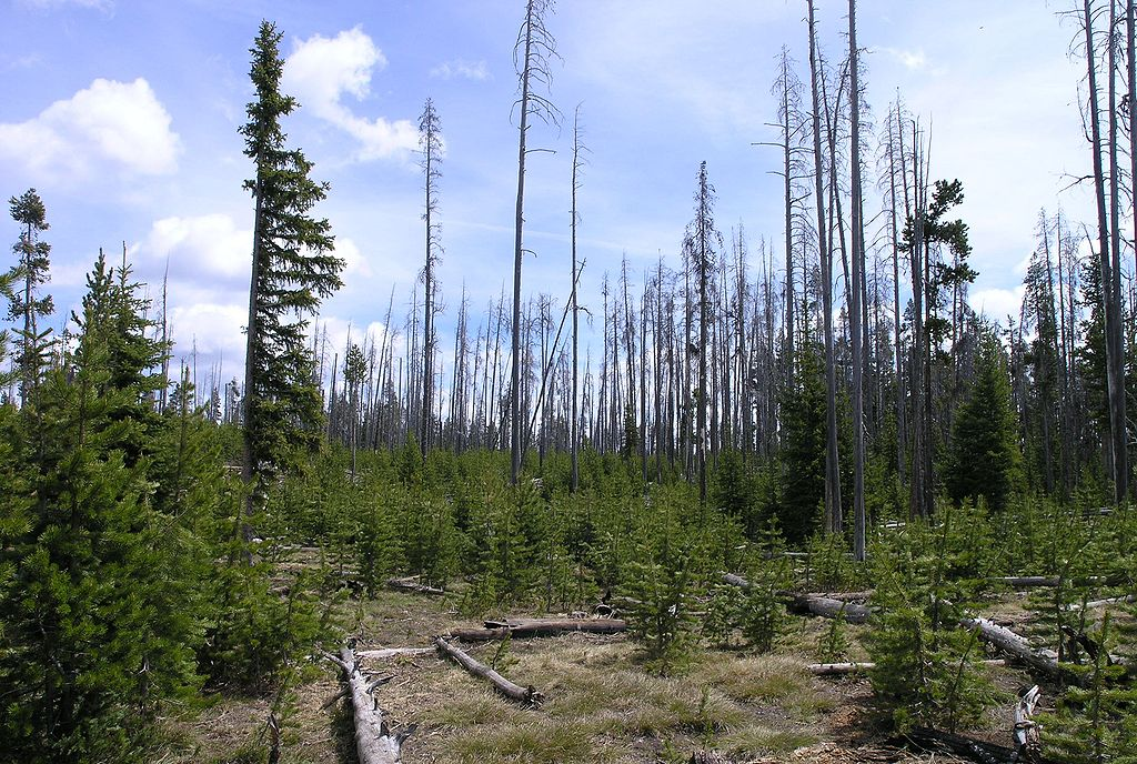 1024px-Burn_area_in_Yellowstone_National_Park
