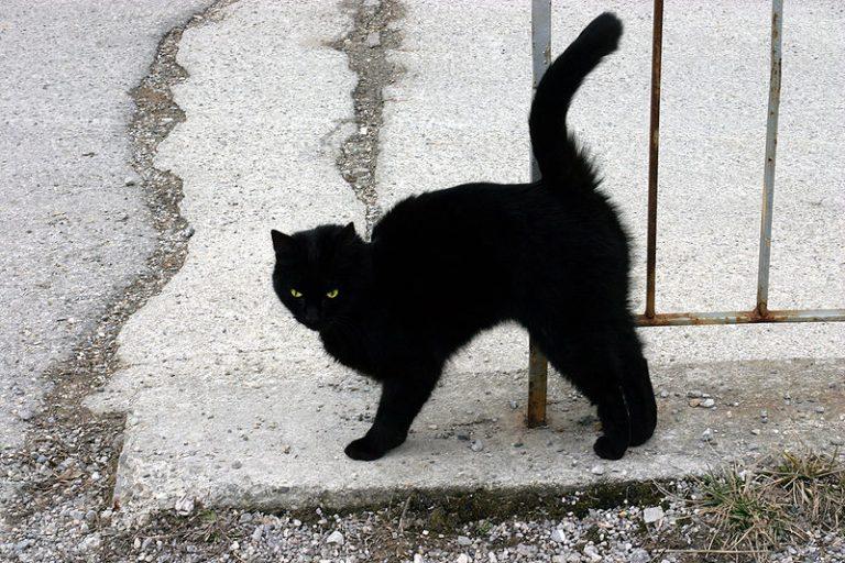 800px-a_black_cat
