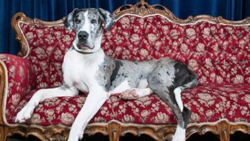 chien danois plus grand chien du monde