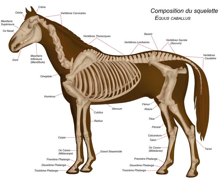 squelette de cheval chevaux
