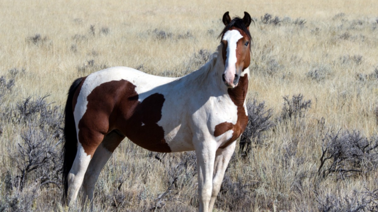 cheval pâturage pie chevaux endormis