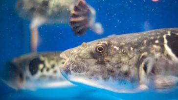poisson fugu