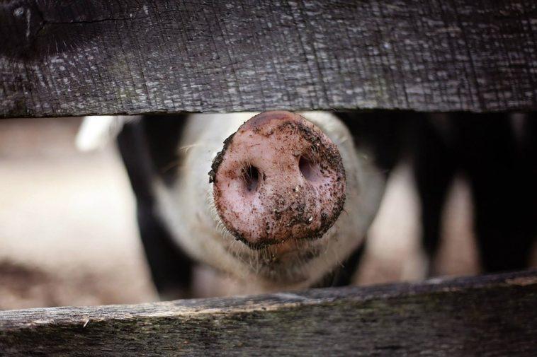 porc animal manger
