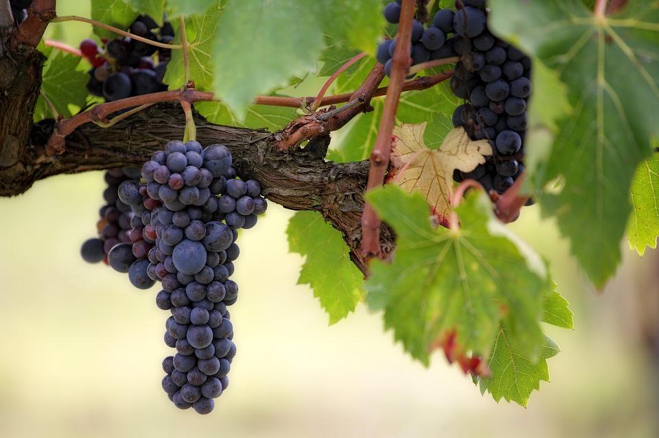vin vigne grappe raisin viticulture