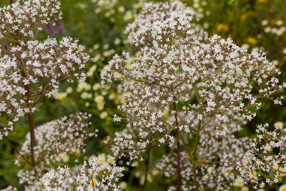 valériane plante fleur phytothérapie