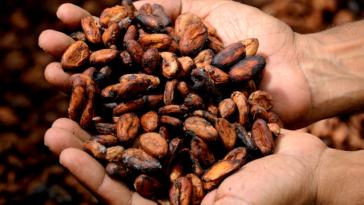 cacao mains