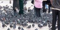 rassemblement de pigeons en ville