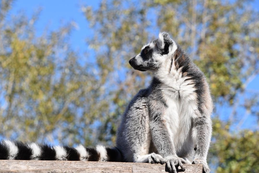lemuriens madagascar
