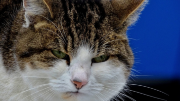 chat en colère
