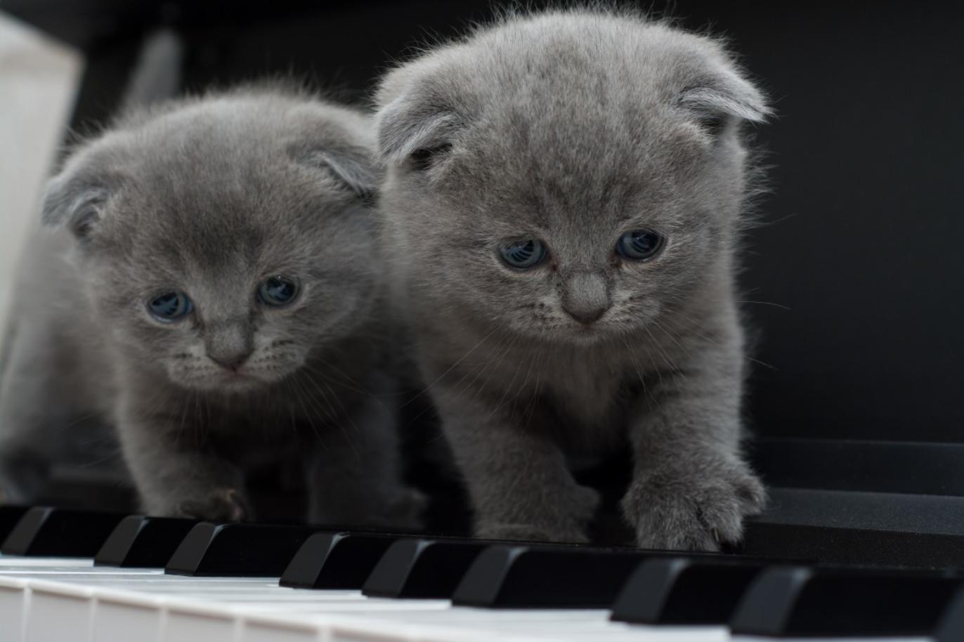 deux chats scottish fold chatons