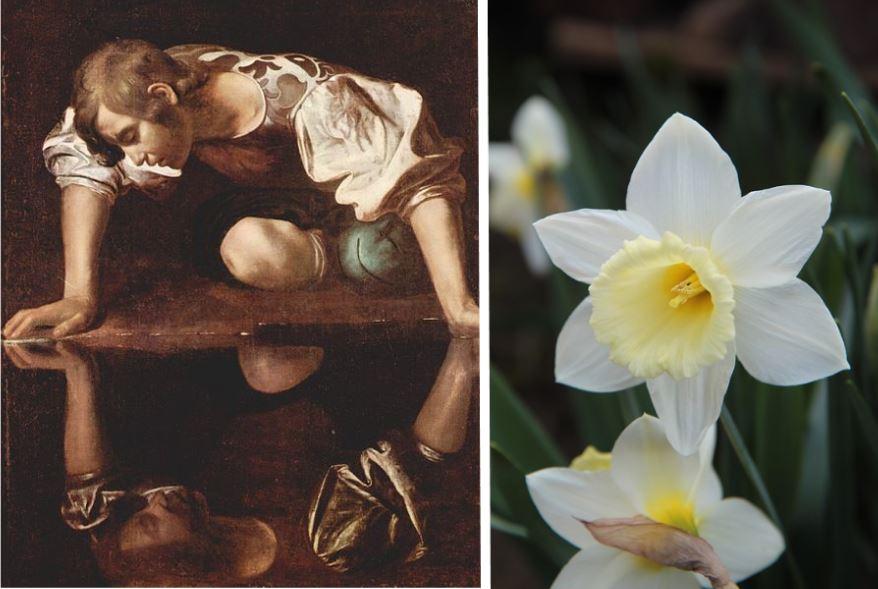 Narcisse reflet fleur