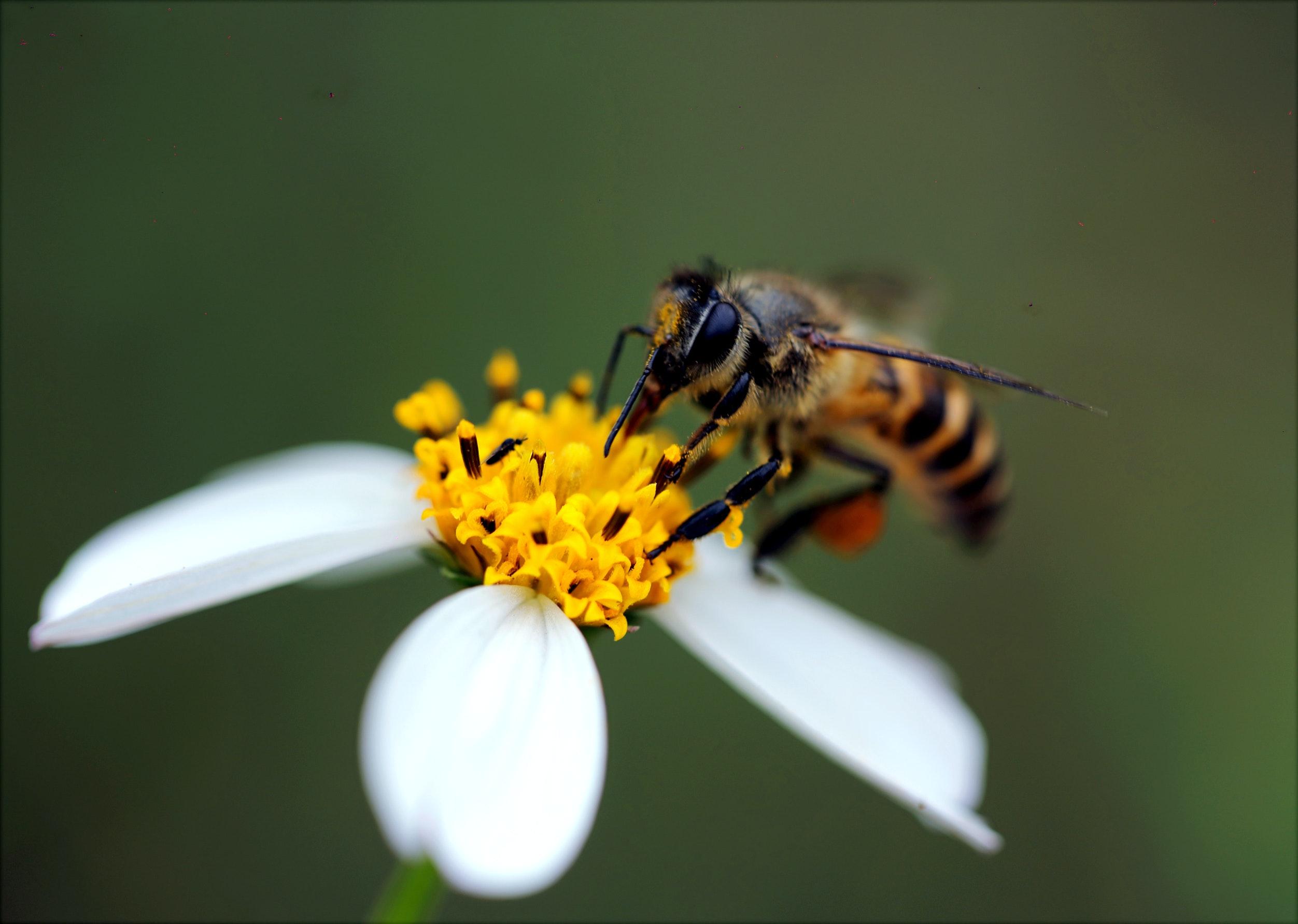 guêpe qui pollinise