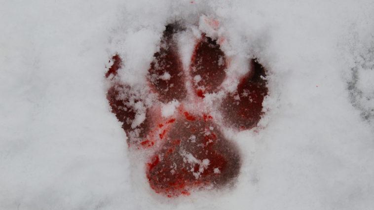 trace patte de loup en sang bête du gévaudan